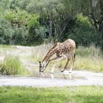 The Wild Africa Trek at Disney's Animal Kingdom