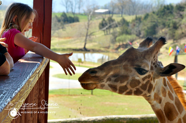 Becca feeding the giraffe